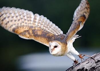 Barn Owl Taking Off Barn Owl
