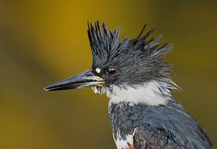 Quest For The Belted Kingfisher